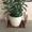 Комнатное растение Толстянка #1605283