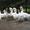 холмогорские гуси #1626408