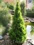 Посадочный материал: декоративные хвойные и лиственные растения,  Брест
