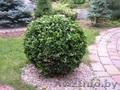 Декоративные саженцы: хвойные и лиственные растения,  Брест,  «Оазис во дворе»