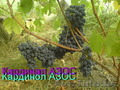 саженцы винограда столового и технари гибриды