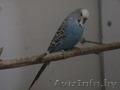 продам волнистых попугая,  попугаев