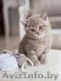 Предлагается британский котенок