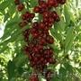 Колоновидные абрикосы, персики, вишни, черешни, сливы, груши, яблони 1 - Изображение #8, Объявление #1581959