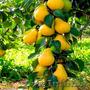 Колоновидные абрикосы, персики, вишни, черешни, сливы, груши, яблони 1 - Изображение #4, Объявление #1581959