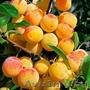 Колоновидные абрикосы, персики, вишни, черешни, сливы, груши, яблони 1 - Изображение #5, Объявление #1581959