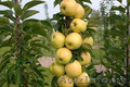 Колоновидные абрикосы, персики, вишни, черешни, сливы, груши, яблони 1 - Изображение #10, Объявление #1581959
